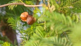 Jacaranda mimosifolia Royalty Free Stock Photo