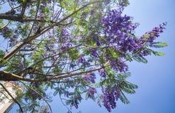 Jacaranda mimosifolia mit purpurroten Blumen Lizenzfreies Stockfoto