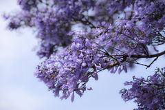 Jacaranda mimosifolia Royalty Free Stock Photography