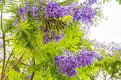Purple Jacaranda Flowers and green foliage on White Background. Jacaranda mimosifolia is a sub-tropical tree native to South America but very succesful planted Royalty Free Stock Photo