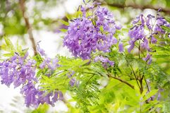 Jacaranda flowers on a dappled background. Jacaranda mimosifolia is a sub-tropical tree native to South America but very succesful planted in Sydney and in royalty free stock image