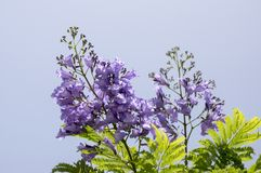 Jacaranda mimosifolia tree in bloom with amazing blue violet flowers. Against blue sky Royalty Free Stock Images