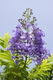 Jacaranda mimosifolia tree in bloom with amazing blue violet flowers. Against blue sky, green leaves foliage Stock Photo