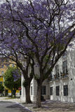 Jacaranda mimosifolia tree Stock Images