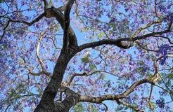 Jacaranda mimosifolia tree, Stock Images