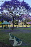 Jacaranda Park. Blossoming jacaranda trees in a park Royalty Free Stock Images