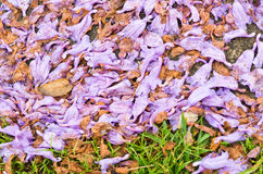 Jacaranda petals Stock Photos