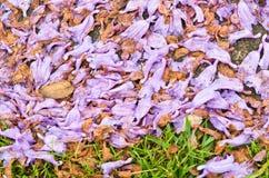 Jacaranda petals Stock Photos