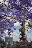 Jacaranda porpora in fioritura e gru variopinta Fotografie Stock