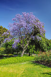 Jacaranda Royalty Free Stock Photo