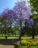 Jacaranda Royalty Free Stock Photo