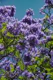 Jacaranda Royalty Free Stock Images
