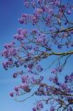Jacaranda Royalty Free Stock Photography