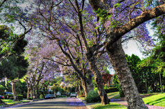 Jacaranda Season Stock Photos