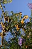 Jacaranda Seed Pods Stock Photo