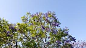 Jacaranda Spring Crown Royalty Free Stock Photo