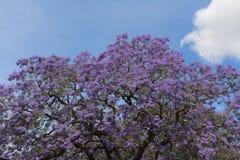Jacaranda tre in bloem Stock Afbeeldingen