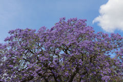 Jacaranda tre in flower stock images