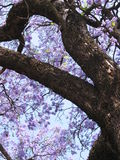 Jacaranda tree. In Pretoria, South Africa Royalty Free Stock Photos