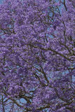 Jacaranda tree Royalty Free Stock Image