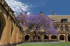 Jacaranda tree. The Quadrangle, University of Sydney Royalty Free Stock Images