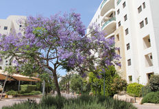 Jacaranda tree Royalty Free Stock Photo