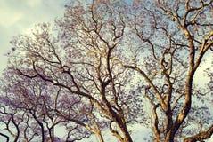 Jacaranda tree in afternoon light in Brisbane Aust Royalty Free Stock Photo