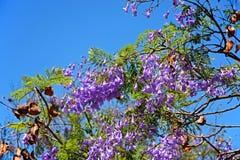Jacaranda tree in bloom, Portugal. Royalty Free Stock Images