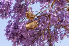 Jacaranda tree in bloom and showing seed pods