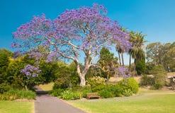 Jacaranda Tree. Blooming jacaranda tree in the park, Sydney, New South Wales, Australia Royalty Free Stock Image