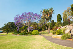 Jacaranda Tree Royalty Free Stock Photography