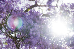 Jacaranda tree in blossom against direct sunlight Stock Photo