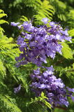 Jacaranda tree blossoms. Beautiful purple Jacaranda Mimosifolia tree  blossoms with vivid green fern shaped leaves. Sub Tropical climate is required to grow this Royalty Free Stock Photo