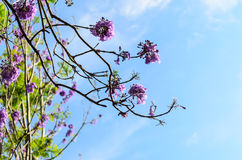 Jacaranda tree on blue sky Royalty Free Stock Images