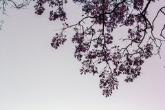 Tree branch against sky. Jacaranda tree branch against sky stock images