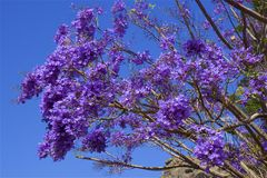 Jacaranda branch. Jacaranda tree and branch with blue sky on the background Stock Photography
