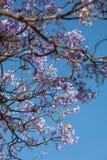 Jacaranda tree in Ethiopia Stock Images