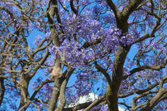 Jacaranda tree in Ethiopia Royalty Free Stock Photos