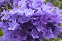 Jacaranda tree flower Stock Images