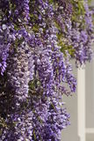 Jacaranda tree flowering over a wall Stock Photo