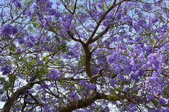Jacaranda tree, flowering, South Africa royalty free stock photo