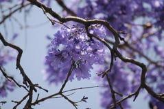 Jacaranda tree flowers background. Jacaranda tree purple flowers against blue sky, close up with blurred background Royalty Free Stock Photography