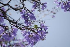 Jacaranda tree flowers with purple flowers. Nature background Royalty Free Stock Photos