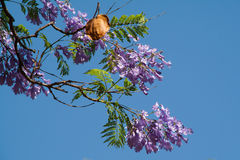 Jacaranda tree flowers and seed pod. Against blue sky Royalty Free Stock Images