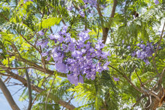 Jacaranda tree flowers Stock Images