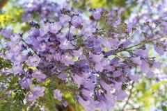 Jacaranda tree flowers. Sunny day Royalty Free Stock Images