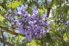 Jacaranda tree flowers. Sunny day Royalty Free Stock Photos