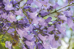 Jacaranda tree flowers Stock Photography