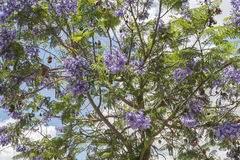 Jacaranda tree flowers Royalty Free Stock Photos
