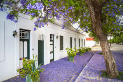Jacaranda tree, Graaff-Reinet, South Africa Royalty Free Stock Photos